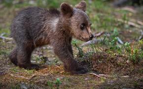 Picture nature, animal, predator, bear, cub, Alexander Perov