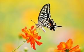 Picture macro, flowers, background, butterfly, kosmeya