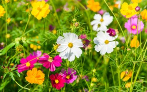 Picture field, summer, the sky, flowers, colorful, summer, pink, field, pink, flowers, cosmos
