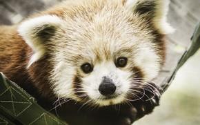 Picture portrait, fur, red Panda