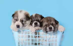 Picture background, blue, puppies, kids, basket, sitting