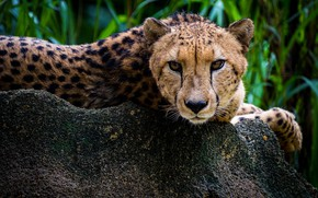 Picture grass, look, face, stay, stone, portrait, Cheetah, lies