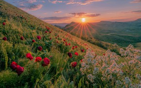 Picture the sun, rays, landscape, sunset, flowers, nature, hills, grass, Crimea, peonies