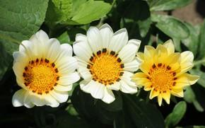 Picture photo, Flowers, Three, Gazania