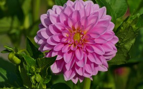 Picture flower, leaves, macro, pink, petals, garden, Bud, Dahlia, green background