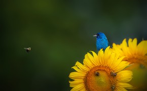 Picture sunflower, bees, sunflower, bees, the Indigo Bunting, Indigo Bunting, Ruiqing P