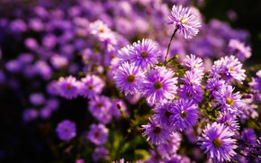 Picture light, flowers, Bush, pink, a lot, bokeh, asters