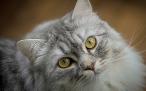 Picture cat, cat, look, face, grey, portrait, fluffy, yellow eyes