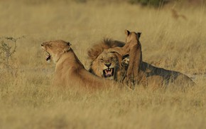 Picture Leo, baby, family, mouth, grin, three, lions, lioness, trio, aggression, cub, mom, lion, lion, family, …