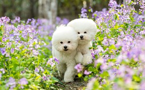 Picture summer, look, flowers, nature, pose, haircut, two, dog, garden, hairstyle, pair, white, pink, walk, white, …