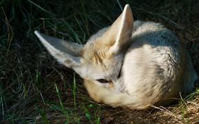 Picture grass, look, face, pose, stay, Fox, lies, ears, desert, wildlife, Fox, Fenech, desert Fox, curled …