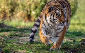Picture summer, grass, look, face, nature, tiger, pose, paws, running, walk, wild cat