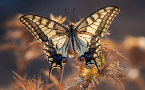 Picture macro, light, butterfly, plant, wings, swallowtail