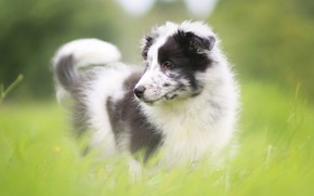 Picture greens, grass, glade, portrait, dog, puppy, Australian shepherd, motley, Aussie