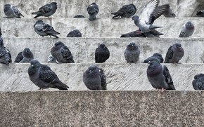 Picture birds, the city, pigeons