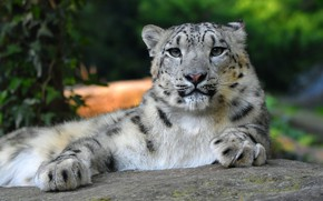 Picture cat, look, face, nature, pose, background, foliage, stone, paws, lies, IRBIS, snow leopard, wild cats