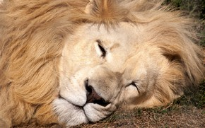 Picture lion, sleeping, eyes closed