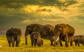 Picture field, elephant, elephants, family, the herd, the elephant, elephant, a herd of elephants