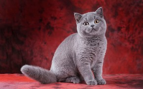 Picture cat, cat, look, pose, kitty, grey, legs, baby, muzzle, cute, kitty, sitting, red background, cool, …