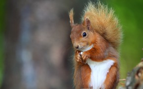 Wallpaper look, nature, pose, green, background, portrait, legs, protein, muzzle, tail, red, sitting, squirrel, bokeh, rodent, ...