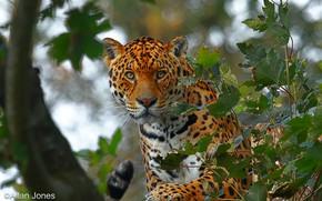 Picture look, face, leaves, trees, branches, nature, predator, Jaguar, bokeh
