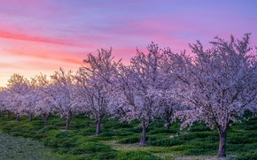 Picture the sky, trees, flowers, dawn, branch, spring, morning, garden, flowering, a lot, blooming, lilac, spring, …