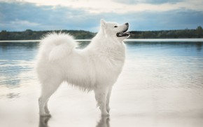Picture the sky, look, water, nature, pose, shore, dog, white, is, pond, Samoyed
