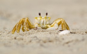 Picture sand, look, yellow, background, shore, crab, crab, claws
