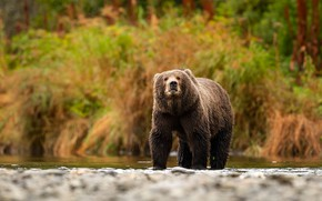Picture look, pose, river, background, shore, foliage, bear, bear, the bushes, pond, brown