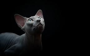 Picture cat, background, Sphinx