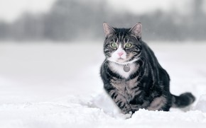 Picture winter, cat, cat, snow, grey, walk, striped