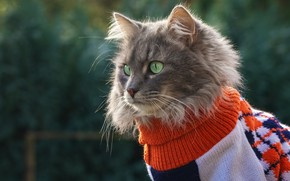 Picture cat, cat, background, clothing, grey, jacket, sweater, outfit