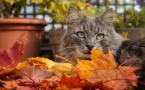 Picture autumn, cat, cat, look, face, leaves, pose, grey, garden, pot, maple, autumn leaves