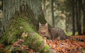 Picture autumn, cat, look, tree, moss, fallen leaves, cat, Максим Вышарь