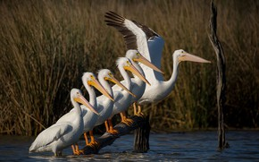 Picture grass, water, birds, lake, pond, river, thickets, shore, wings, ladder, pack, a number, parade, snag, …
