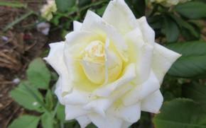 Picture background, rose, white rose, Meduzanol ©, summer 2018