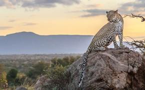 Picture nature, stone, leopard