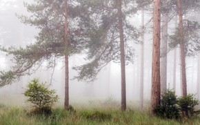 Picture forest, summer, fog