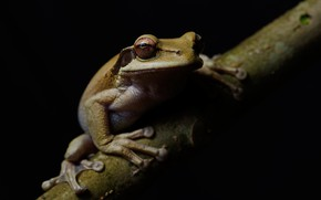 Picture look, macro, frog, branch, grey, black background, dendrobates