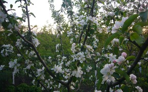 Picture may, Apple, flowering