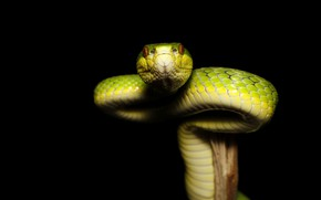 Picture look, snake, black background, green, bitches, reptile