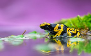 Picture frog, purple background, water