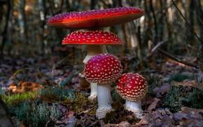Picture autumn, mushrooms, Amanita, dry leaves