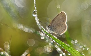 Picture grass, drops, macro, light, Rosa, glare, butterfly, Shine, grey, green background, a blade of grass, …