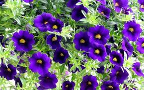 Picture summer, flowers, petunias, purple petunias