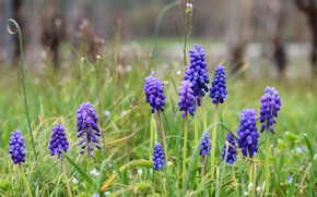 Picture flowers, spring, Muscari, hyacinth mouse