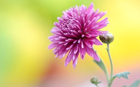 Wallpaper flower, pink, Astra, yellow background
