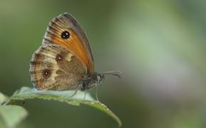 Wallpaper macro, butterfly, bokeh, ox-eye, the satyrinae bolooki