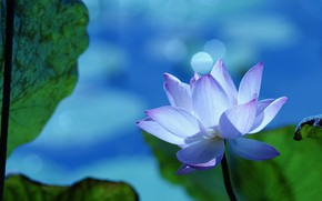 Picture white, flower, leaves, blue, nature, glare, background, blue, Bud, Lotus, bokeh, pink and white