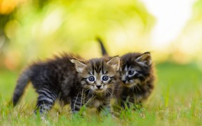Picture summer, grass, look, light, nature, pose, kitty, lawn, blur, pair, small, kittens, walk, kitty, kids, …